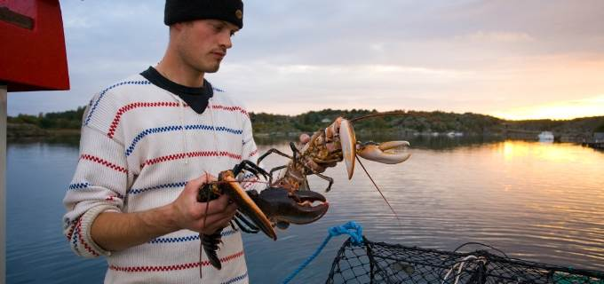 Join a Lobster safari tour on Swedish west coast
