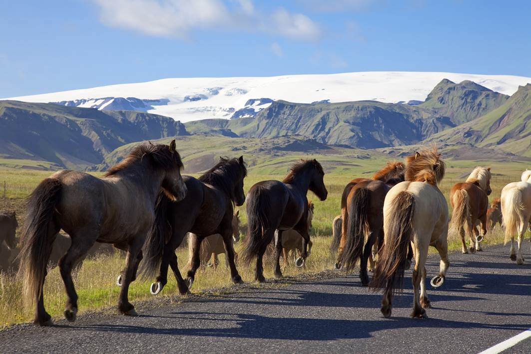 Traditional Icelandic Horses